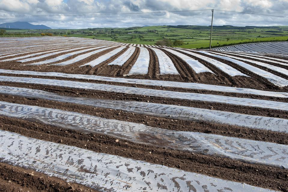 Field of newly sowed Maize covvered with bio-degradable plastic protective sheeting. Maryport - Cumbria.
