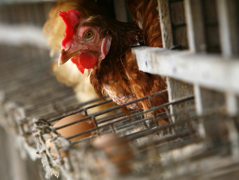 Farming's Cage-Free Future