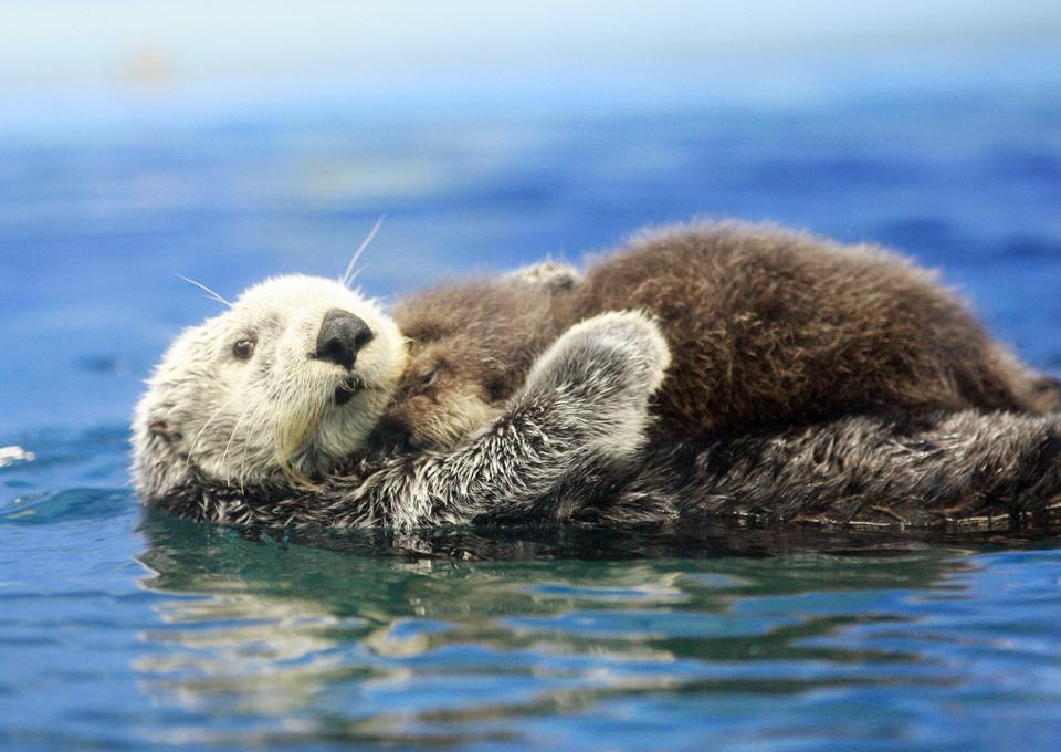 A five-year-old female Russian sea otter...