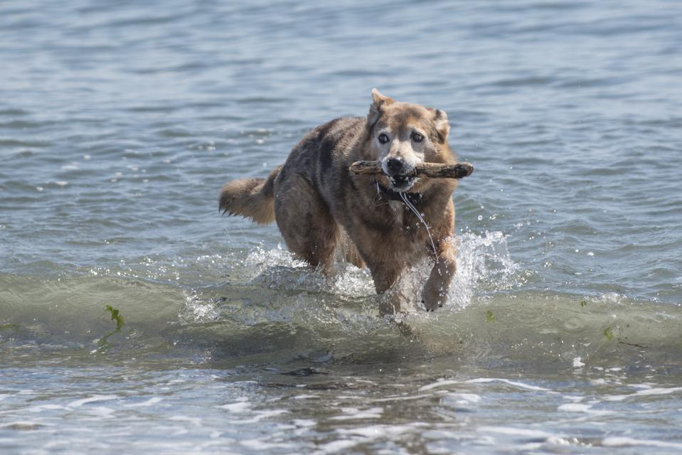 Mixed Breed Rescue Dog coming out of Waves, fetching the stick