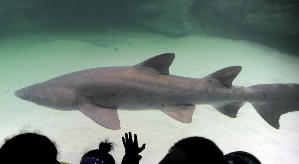 Two Oceans Aquarium to introduce sharks into renovated Predator Exhibit