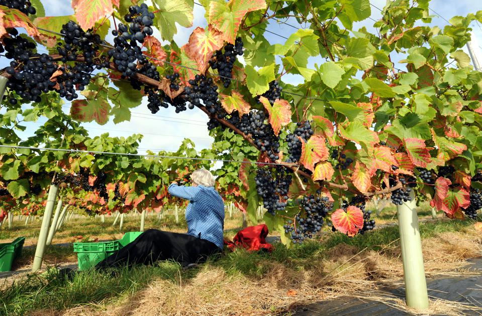 Bumper crops expected for English Vineyards