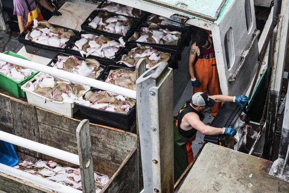 Commercial skate fishing catch being unloaded at dock...