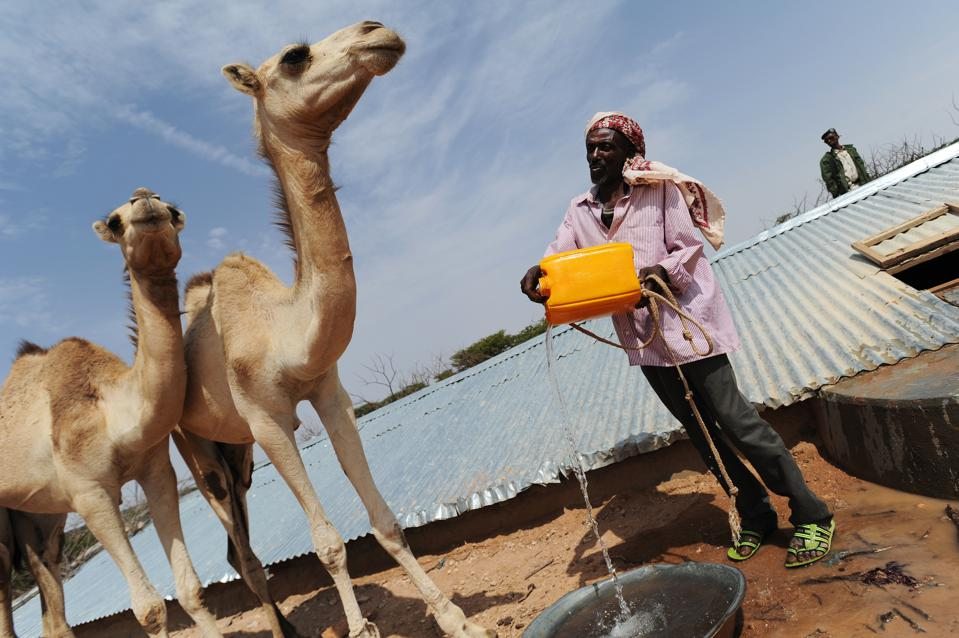 Two skinny camels and one thin man pouring out water for them