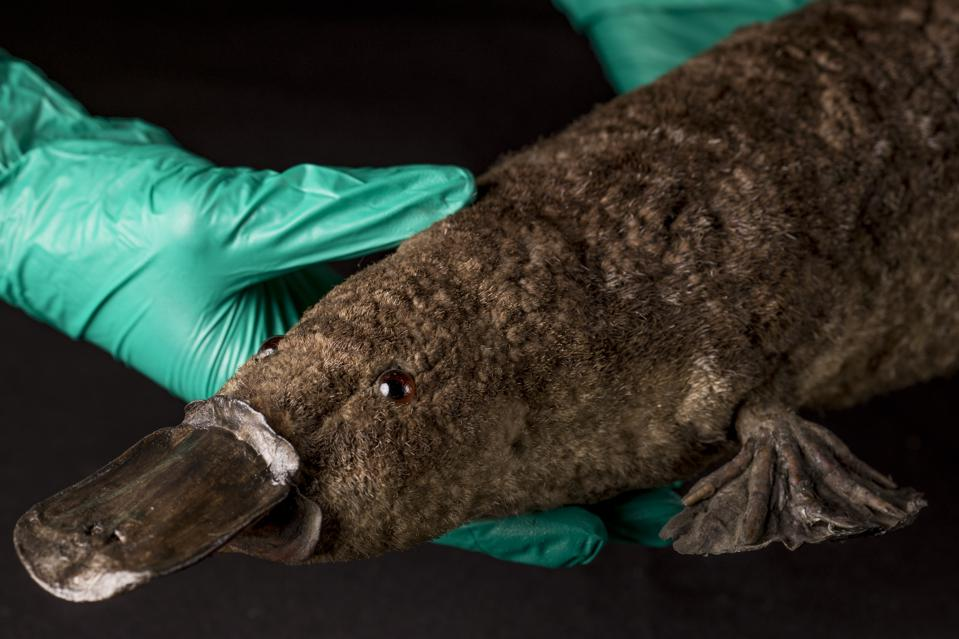 Is The Platypus An Evolutionary Anomaly?