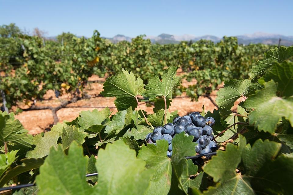 Red ripe grapes Mallorca