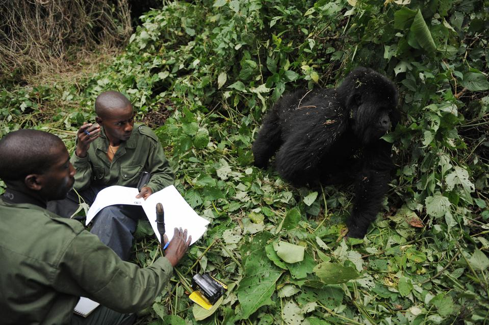 Virguna National Park. Endangered mountain gorillas.