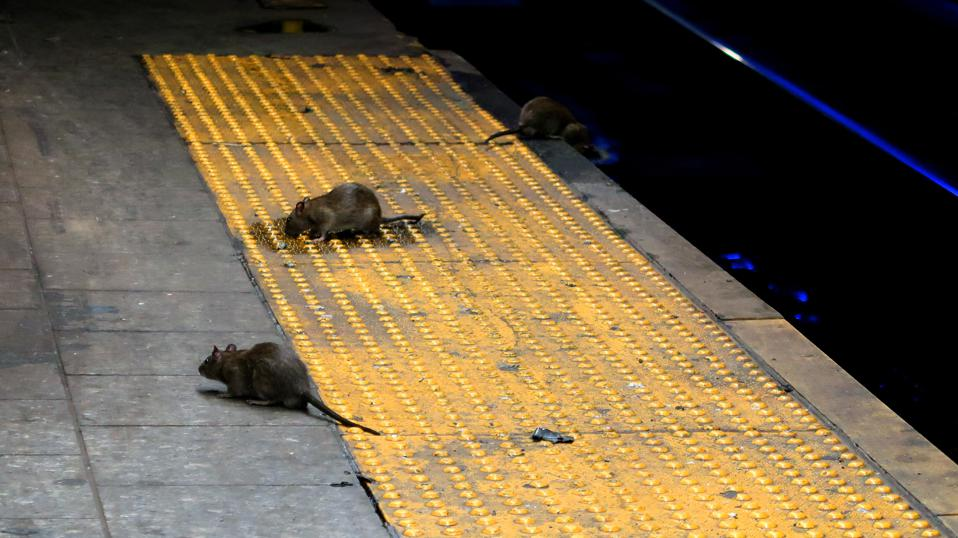 Rats on a Subway Platform in New York City