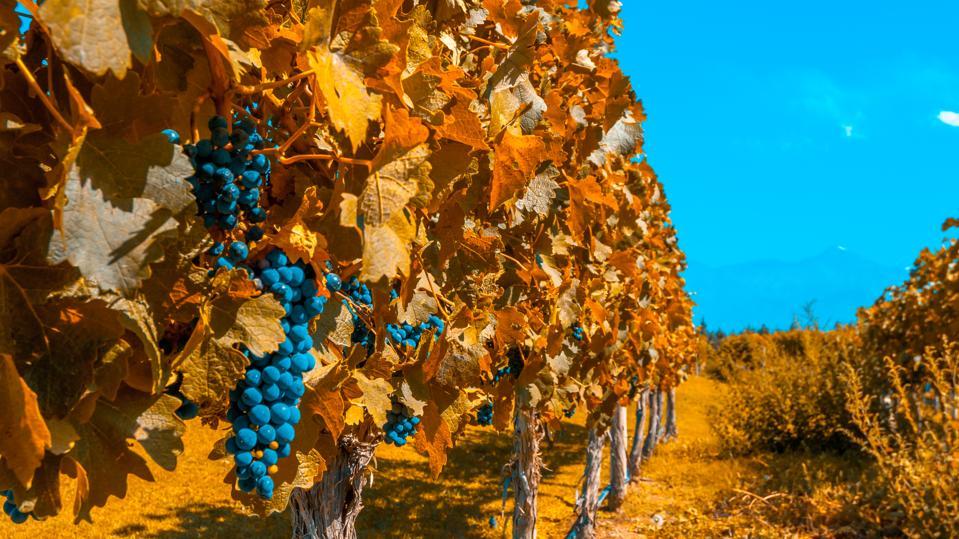 Vineyards of Mendoza in autumn colors, Argentina