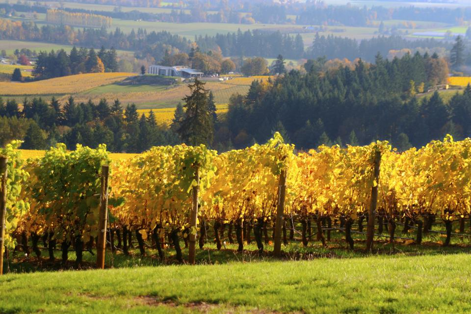 Willamette valley vineyard in autumn