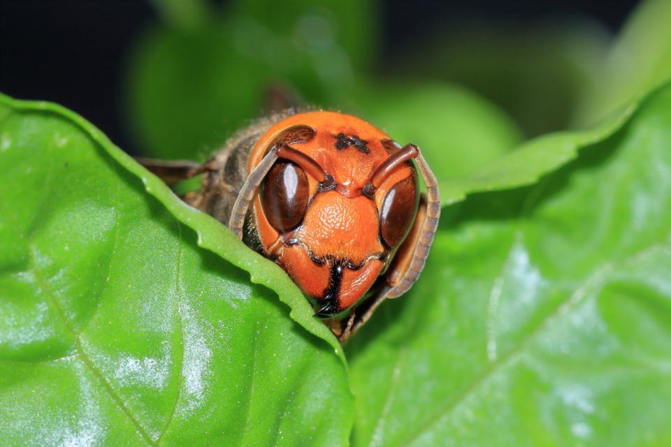 murder Japanese giant hornet