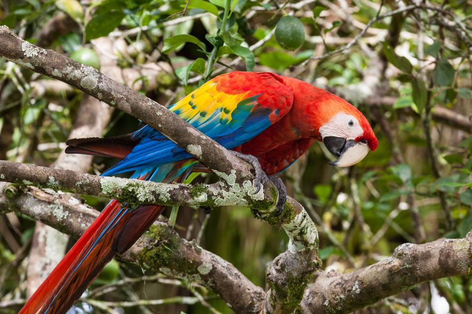 A Scarlet Macaw  in Costa Rica.