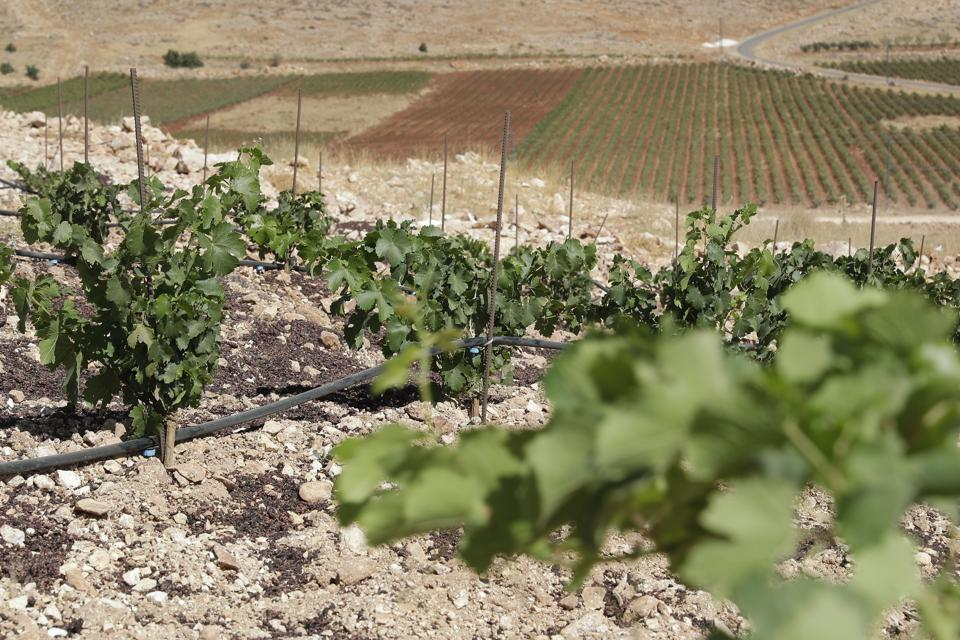 LEBANON-LIFESTYLE-WINE-CANNABIS