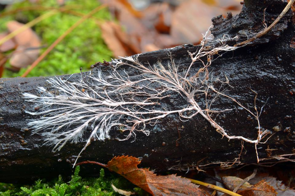 Mycelium is the thread-like vegetative part of a fungus.