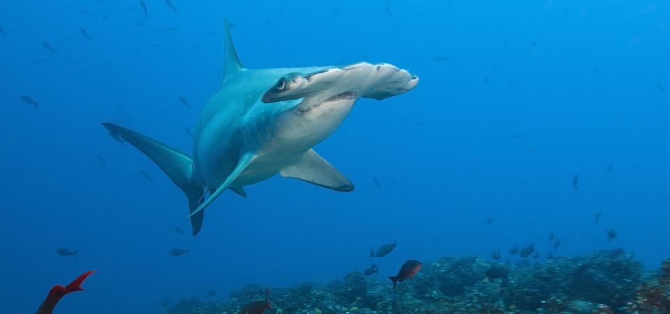 Conserving These Weird Sharks Could Help Hammer Climate Challenges In Costa Rica