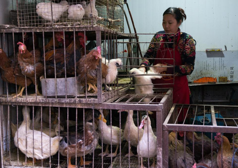 Woman selling live chickens and ducks in cages at a food market, Gansu province, Lanzhou, China...