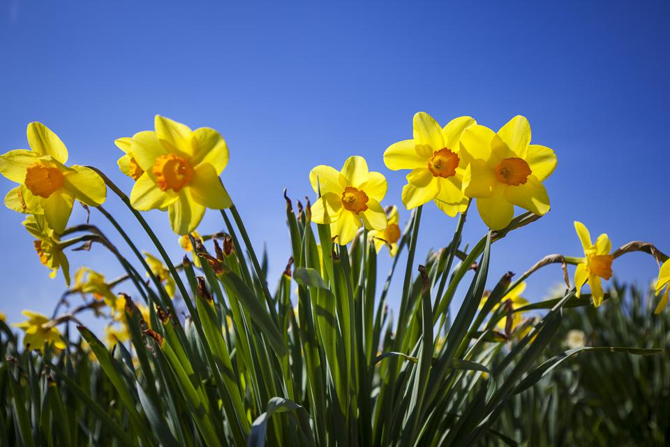 Daffodils are also harmful to humans.