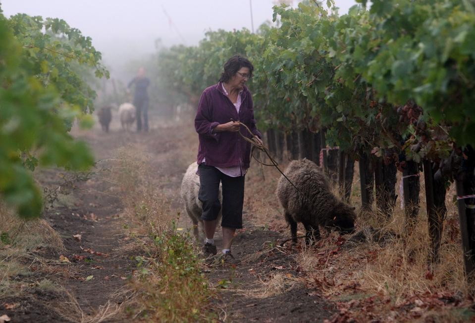 Organic Winery In Napa Valley Begins In Harvest