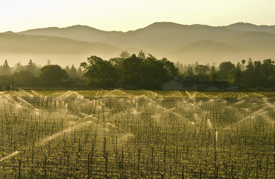St. Helena vines in Napa Valley, California
