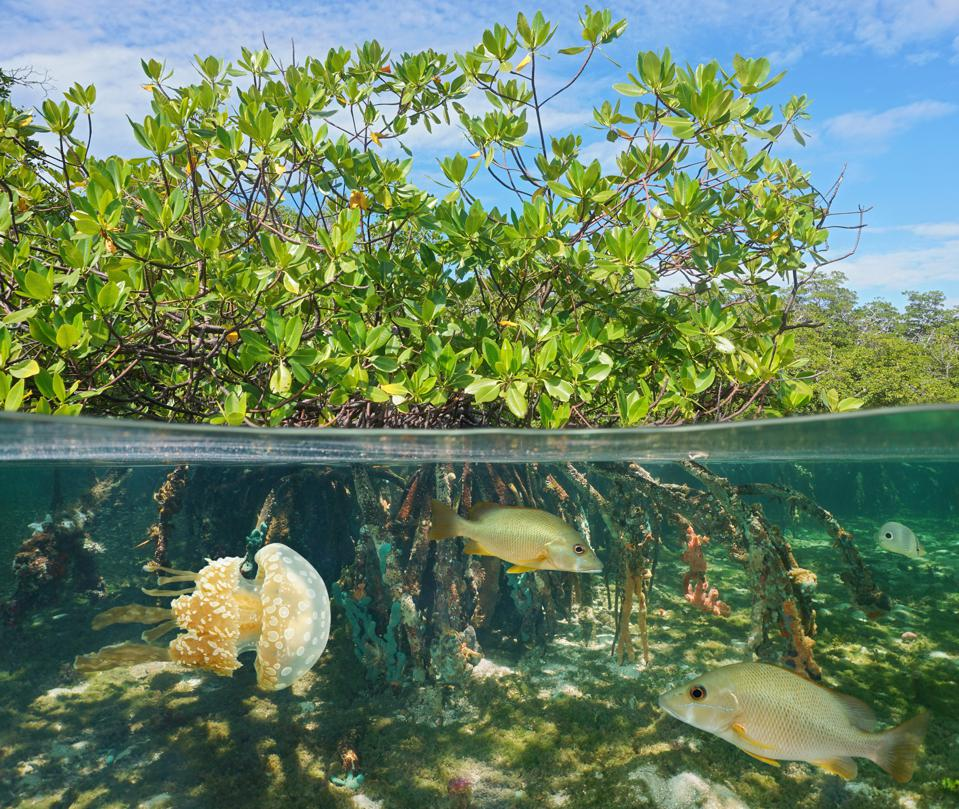 Gray snappers and a jellyfish visible among the roots of a mangrove forest.