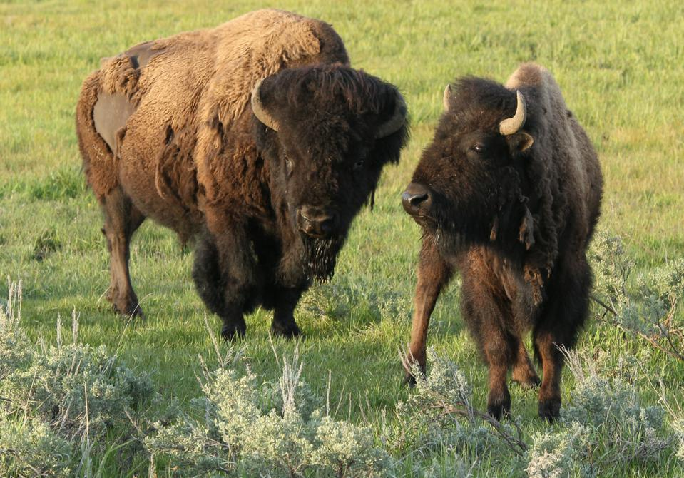 Bison (Buffalo) graze in the meadow of Yellowstone National...