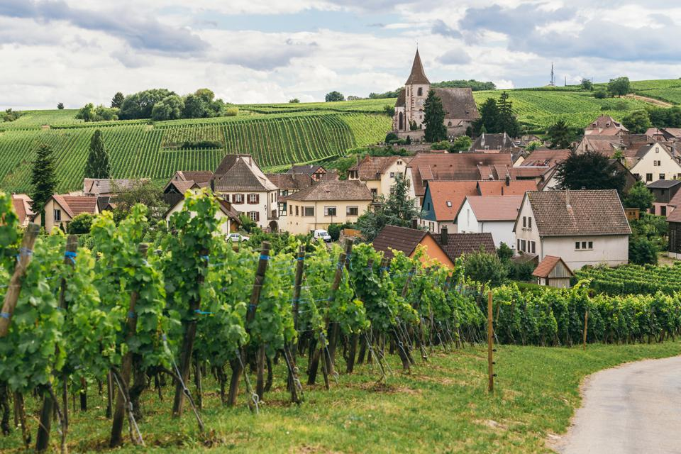 grapes grows in rows in the fields of Burgundy, winemaking business in France, fresh green background