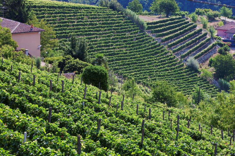 Moscato vineyards on the hills surrounding Canelli. Asti. Piemonte. Italy