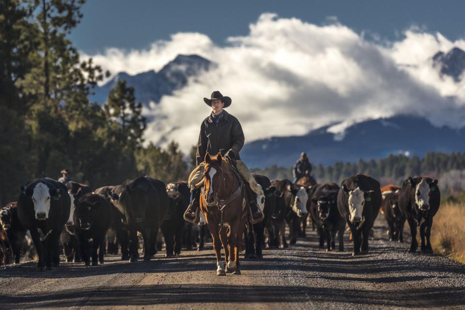 Cowboys on Cattle Drive Gather cows and calves Centennial Ranch, San Juan Mountains