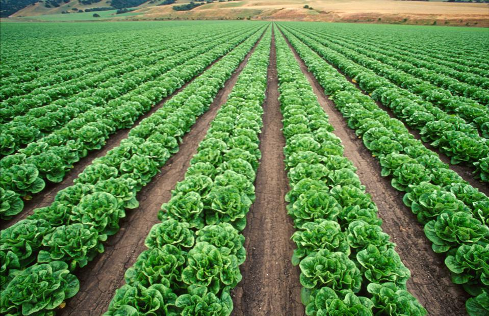 California, Salinas Valley, Crops in region called the Salad Bowl of America