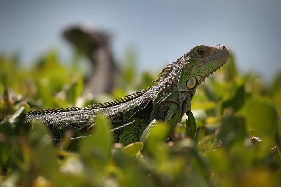 South Florida Battles Invasive Iguana Population