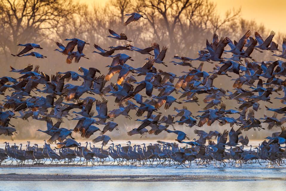 Sandhill Cranes taking flight at sunrise, Platte River near Kearney, Nebraska