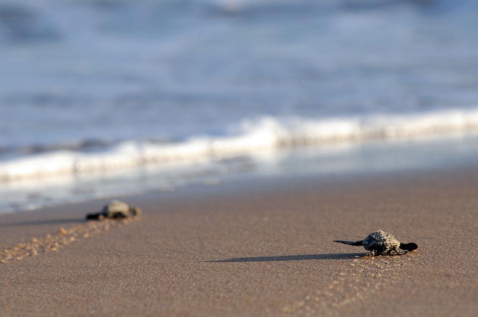 Newborn loggerhead turtles (Caretta caretta) walk into the sea in Praia do Forte on Brazil's northern coast.