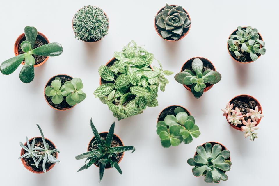 top view of various green succulents in pots on white