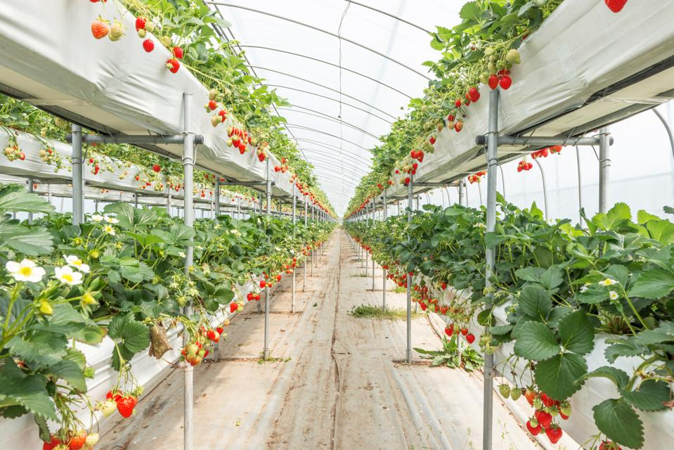 Organic Strawberry Farm in South Korea