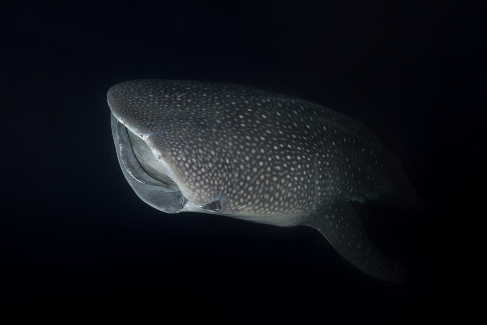 Portrait Of Whale Shark