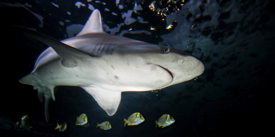 Sandbar shark, Carcharhinus plumbeus, on a dark background.
