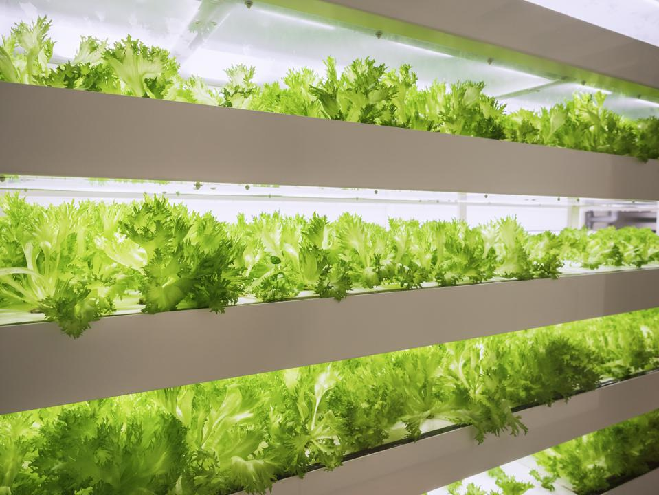 Greenhouse Plant row Grow with LED Light Indoor Farm Technology