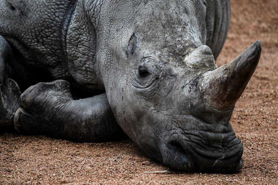 A rhino is pictured at a zoo in Europe