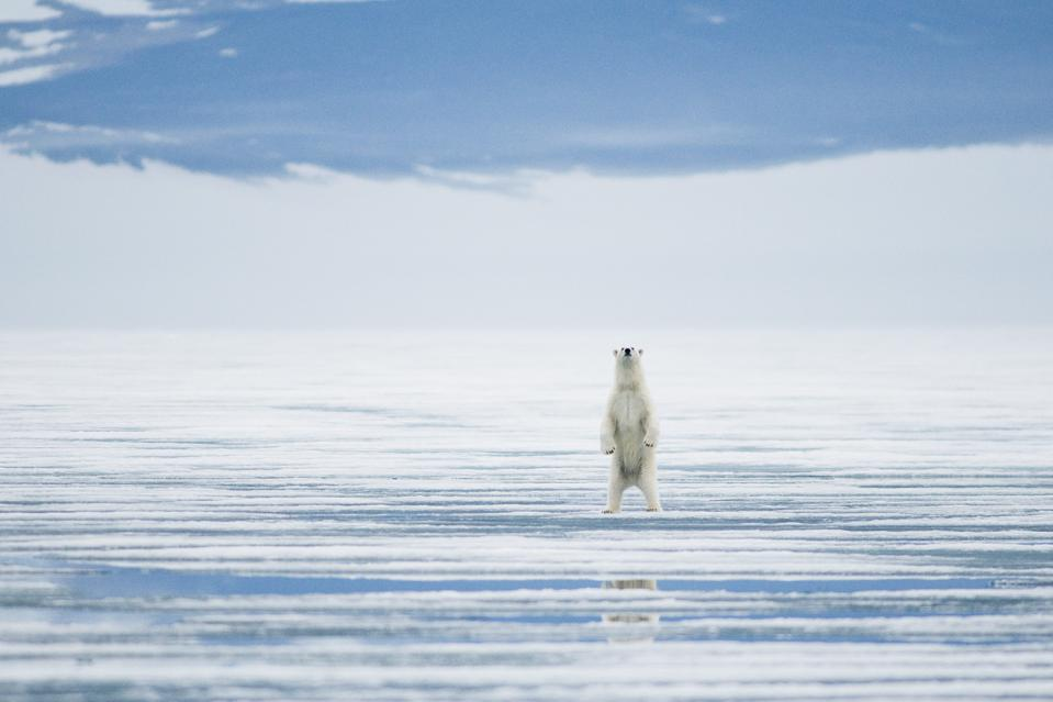 A polar bear in Svalbard during the summer of 2009 in Svalbard, Norway.