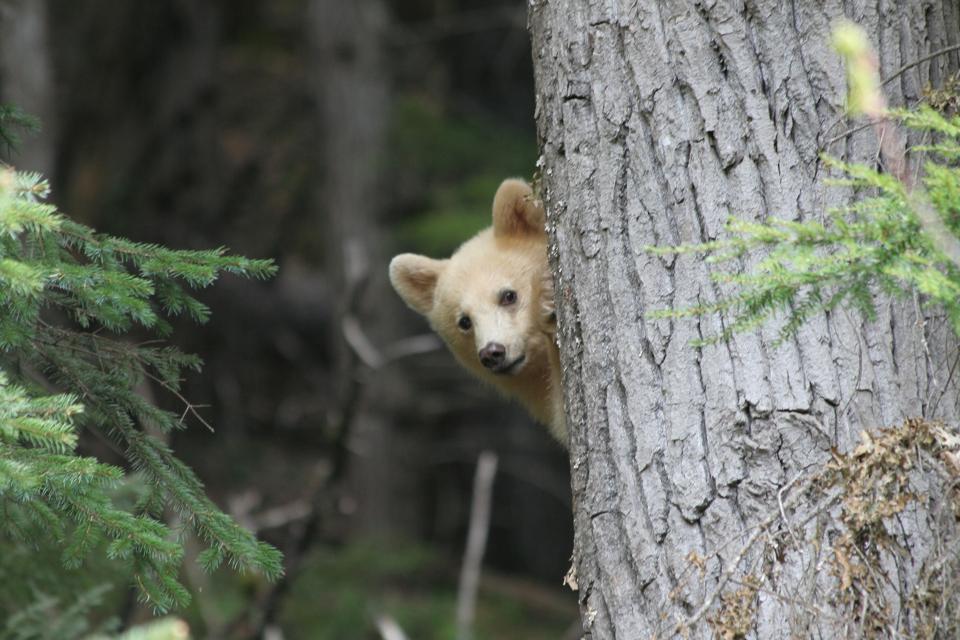 Spirit Bear Cub Peak a Boo