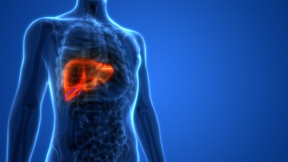 Human Liver Anatomy