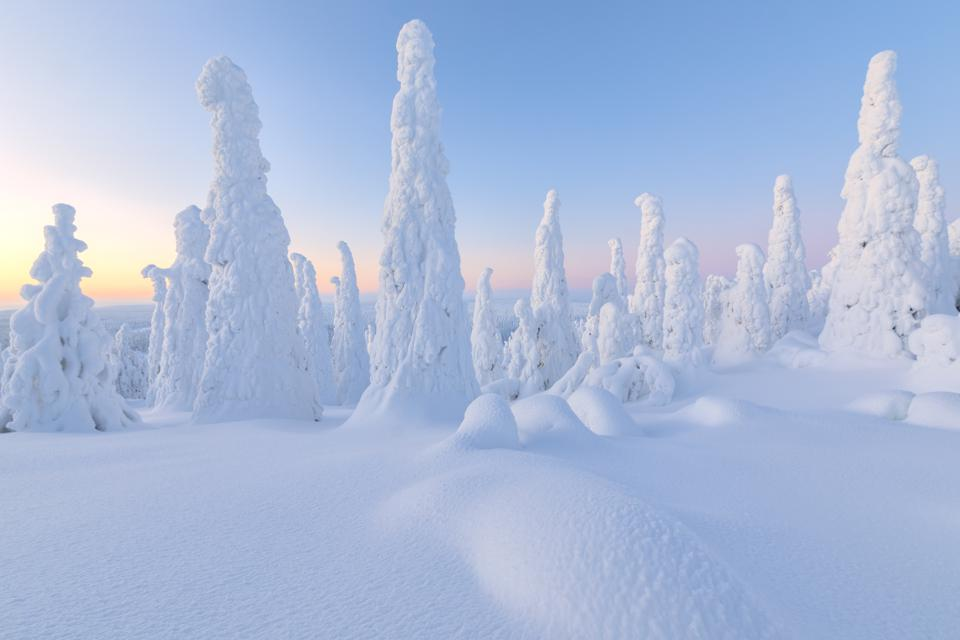 Trees covered with snow at dawn, Riisitunturi National Park, Posio, Lapland, Finland