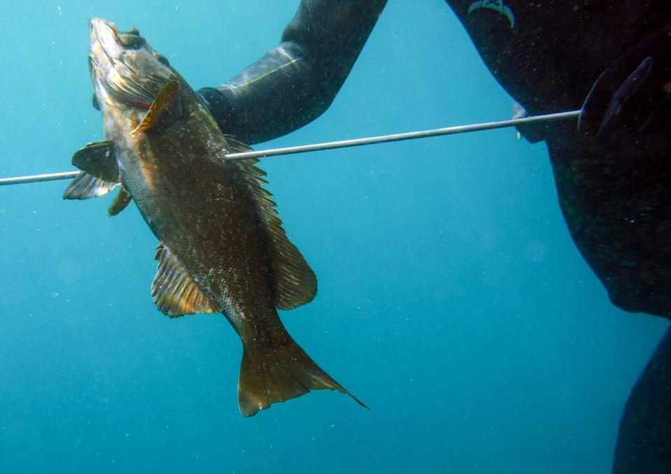 A fish on a spear underwater, held by a diver.