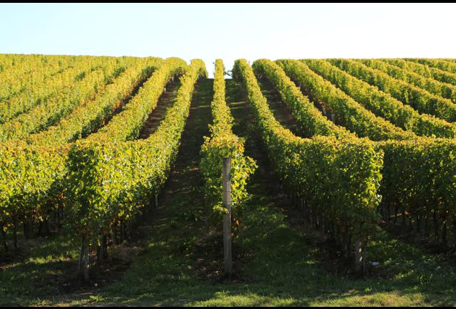 Climate Change Begets Changing Terroir, And Winegrowers Respond