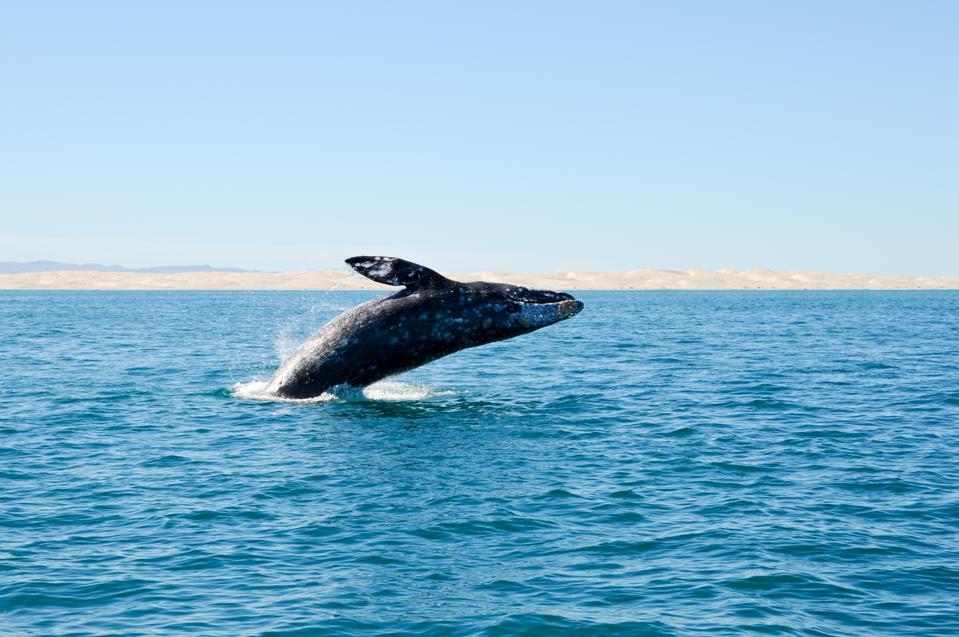Breaching gray whale at Guerrero Negro, Mexico