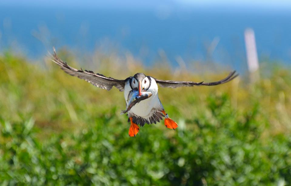 Atlantic puffin flying with prey fish, Machias Seal Island, New Brunswick