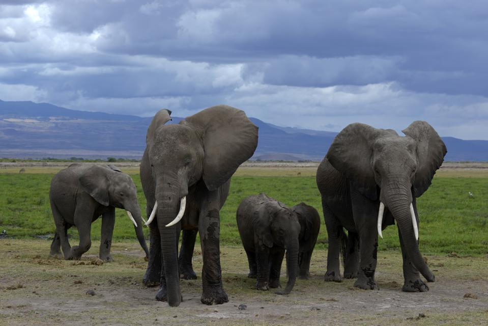 Elephants with calves in Amboseli national park