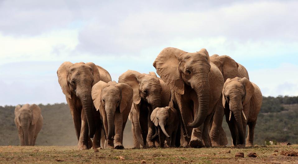 A head of African elephants walks in Addo Elephant park