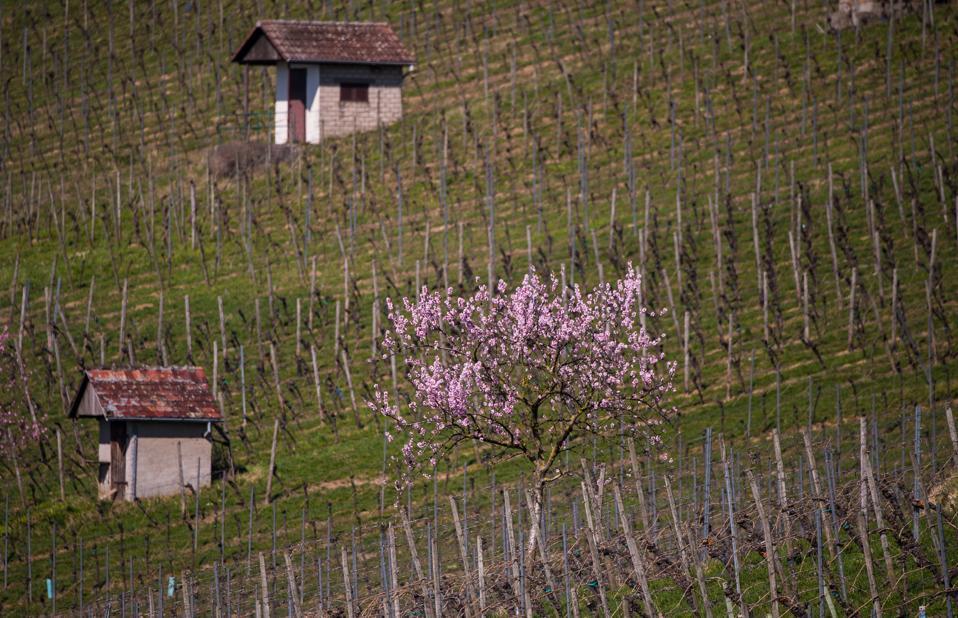 Spring in the vineyard, German wine, asparagus, farm workers in Germany, Spargelzeit
