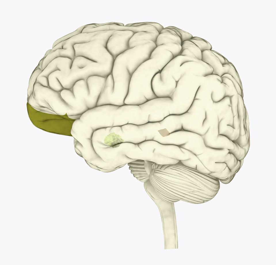 Digital illustration of human brain with orbitofrontal cortex and amygdala highlighted in green